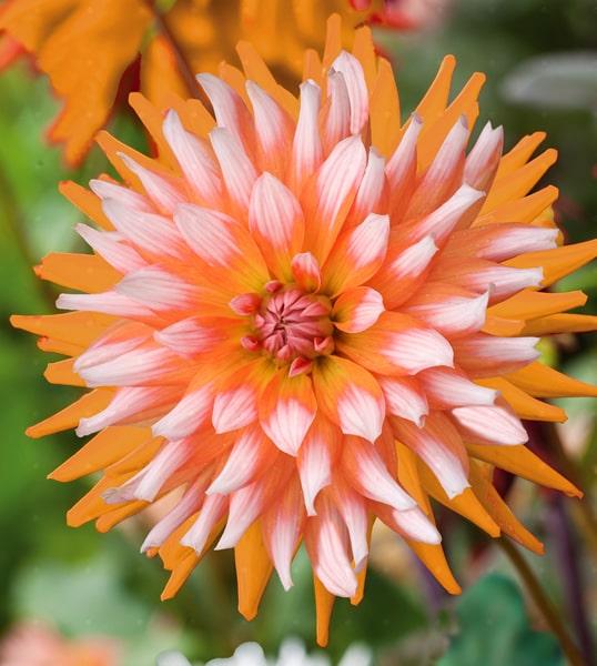 cactus oranje