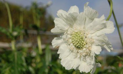 tuinplant scabiosca causaica