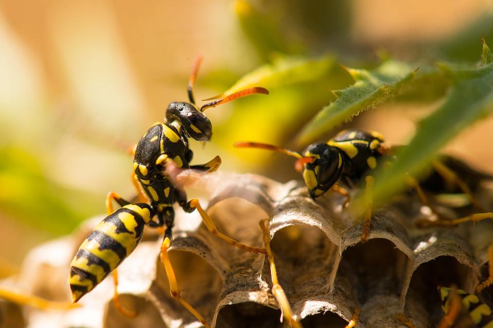 wespen nest zomer