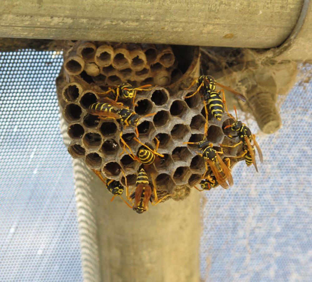 wespennest dakpannen